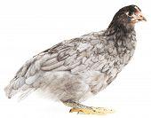Grey Hen