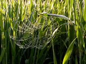 spider web among growing grass