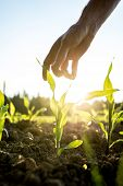 Reaching For Young Maize Plant
