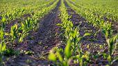 Corn Field In Early Summer