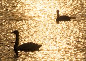 Silhouette of swans in the sunset shining lake