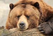 Alaskan Brown(Grizzly) Bear