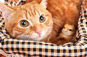 Red cat with cute chickens in basket close up