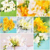 Collage of beautiful  freesias