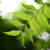 Medicinal Plant - Neem Leaves
