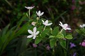 Snowflake or wrightia antidysenterica flower.