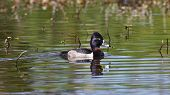 Ring-necked Duck Swimming