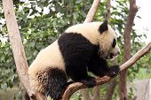 Young panda on a tree