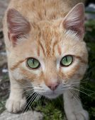 pic of wildcat  - A detail photo of a wildcat with green eyes - JPG