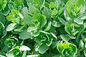 Sedum, Stonecrop, Crassula .floral Background