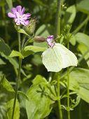 Female Brimstone Butterfly