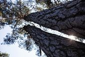 Silhouettes Of Two Thick Pine Tree Trunks And Tops