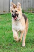 German Shepherd puppy having fun.