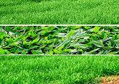 Grasses Three Different Ones