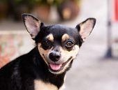 Small Chihuahua Puppies.