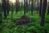 Sunrise in a pine forest in the bush blueberries surrounding a huge stone.