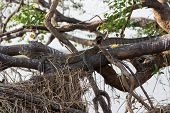 Monitor Lizard camouflaged hidden over branch