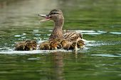Mother Mallard Duck On Water