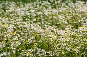 German Chamomile Flowering In The Field