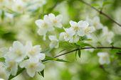 Beautiful Jasmine White Flowers