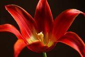 Beautiful red tulip on dark background