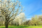 Blossoming fruit tree orchard in spring arboretum