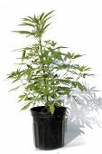 pic of mary jane  - Medical Marijuana plant in a black plastic 1 gallon grow pot - JPG