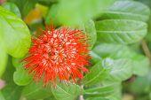 Orange Jasmine Bush