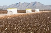stock photo of pima  - cotton modules alongside of a cotton field that has been picked - JPG