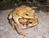 Cane Toads in Australia