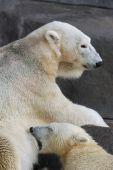 Polar bear nursing cub