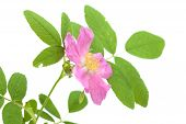 stock photo of climbing roses  - pink dog rose flower isolated on white - JPG