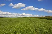 Pea Field With Hedgerow