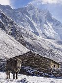 Yak in Front of Village House, Everest Region, Nepal