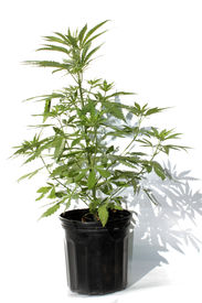picture of loco  - Medical Marijuana plant in a black plastic 1 gallon grow pot - JPG