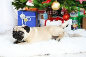 Funny, cute and playful pug dog on white carpet near Christmas tree