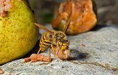 Hornet Eats Pear