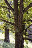 Two Old Oak Tree Trunks In Park