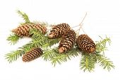 Pine Cones At The Fir Branch