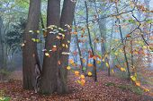 Beech Tree In Misty Forest During Autumn