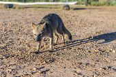 pic of mesopotamia  - Mountain Fox on El Palmar National Park  - JPG