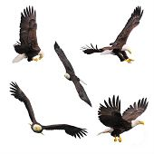 image of eagles  - Five bald eagles isolated on white background - JPG