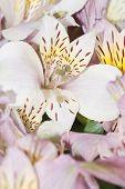 Astromeria Flower Close Up