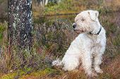 soft-coated terrier