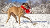 Great Dane in the snow wearing scarf