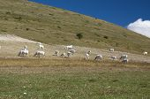 cows grazing on mountain pastures Italy