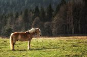 Wild horse on yellow green medow near forest