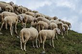 Grup Of Sheeps In The Mountain