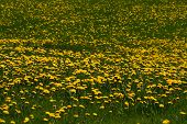 Lawn With Lots Of Dandelions