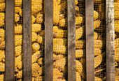 Large group of industrial corn
